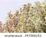 flowers of apple. blooming... | Shutterstock . vector #597000152