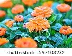 Orange Chrysanthemum  In Solar...