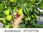 gather green pear from branch... | Shutterstock . vector #597257726