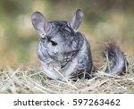 wild grey chinchilla sitting on ... | Shutterstock . vector #597263462