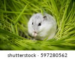 Stock photo djungarian hamster in the grass 597280562