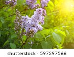 blossoming lilac colorful... | Shutterstock . vector #597297566