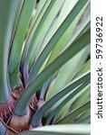 Leaves Of Datil Yucca Or Banan...