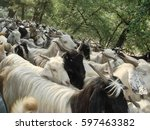 Herds Of Goats