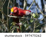 scarlet macaw perched on a... | Shutterstock . vector #597475262