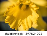 One Open Yellow Daffodil With...