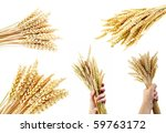 collection of wheat   isolated | Shutterstock . vector #59763172