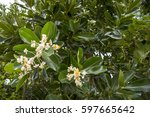 Small photo of Alexandrian Laurel flower and green leaves in Taketomi island