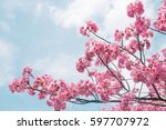 beautiful cherry blossom sakura ... | Shutterstock . vector #597707972