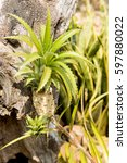 Small photo of Bromeliad (Aechmea fasciata) Native name: Urn Plant.