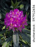 Small photo of Pink purple flowers of Pontic Rhododendron ponticum