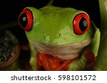 Red Eyed Tree Frog   Studio...