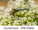 Small photo of Dragonfly, Anisoptera Aeshnidae, blue green Aeshna Cyanea.