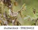 woodpecker finch  camarhynchus... | Shutterstock . vector #598234412