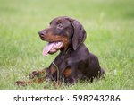 Young Brown Doberman Puppy On...