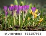 Beautiful Spring Flower Crocus...