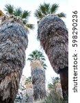 giant fan palms in a oasis in... | Shutterstock . vector #598290236