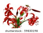 red tiger lily isolated on... | Shutterstock . vector #59830198