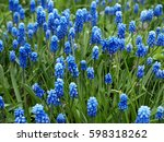 Many Muscari Blue Flowers In...