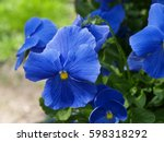 Blue Pansy Flowers With Green
