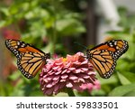 Two Gorgeous  Colorful Monarch...