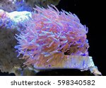 corals in the aquarium light... | Shutterstock . vector #598340582