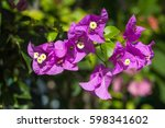 Small photo of Bougainvillea. A perennial shrub type. Size from small bush to bush. There are thorns up the trunk, the leaves split, alternate with the branches or indent.