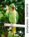Small photo of alexandrine parakeet