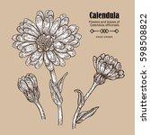 hand drawn calendula flower.... | Shutterstock . vector #598508822