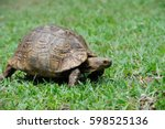 African Spurred Tortoise ...