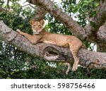 lioness lying on a big tree.... | Shutterstock . vector #598756466
