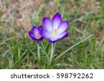 Crocus   One Of The First...