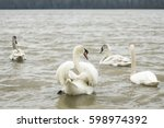 Swan Family On The River