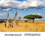 close giraffe in national park...   Shutterstock . vector #599036942