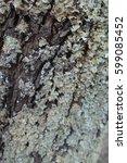 Small photo of Parmelia saxatilis lichen