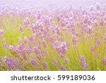 lavender flowers   sunset over... | Shutterstock . vector #599189036