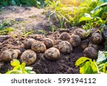 fresh organic potatoes in the... | Shutterstock . vector #599194112