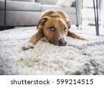 shepherd mix puppy dog makes... | Shutterstock . vector #599214515