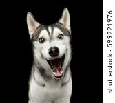 Stock photo portrait of amazement siberian husky dog opened mouth surprised on isolated black background front 599221976