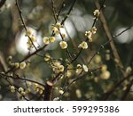 the pretty white plum blossoms... | Shutterstock . vector #599295386