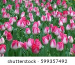 Tulip Field In Spring Shower  ...