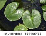 Lotus Leaves On Pond  Top View