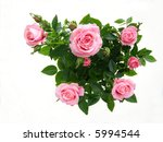 close up of pink rose flower... | Shutterstock . vector #5994544