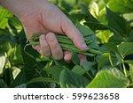 Harvest Of Green Fresh Beans I...