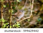 garden birds. dunnock  prunella ... | Shutterstock . vector #599629442
