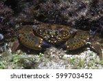 Round crab (Xantho poressa) underwater in the Mediterranean Sea