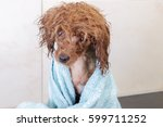 Chocolate Toy Poodle Wrapped I...