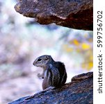 Small photo of Harris's Antelope Squirrel in Arizona