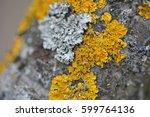 Yellow Lichen On A Tree. Close...