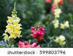 Small photo of Pink and yellow snapdragon flowers, Antirrhinum magus flower on green background photo